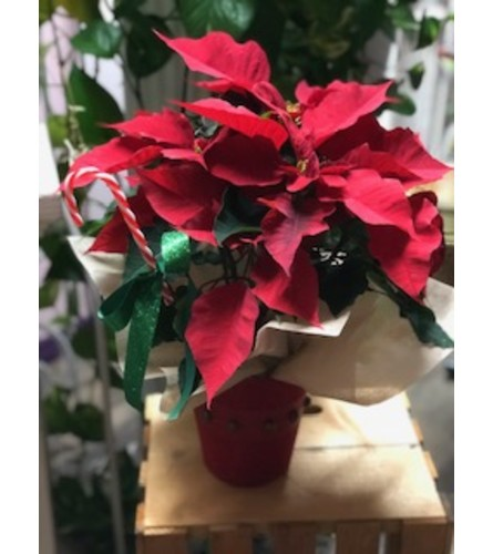 Poinsettia Gift in a Cover pot