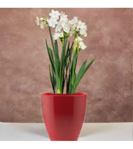 Paper Whites Bulbs
