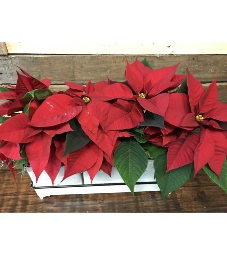 Poinsettia Trio