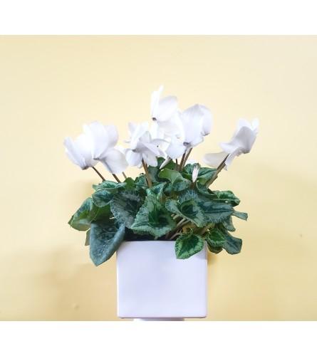 """6"""" White Cyclamen Plant"""
