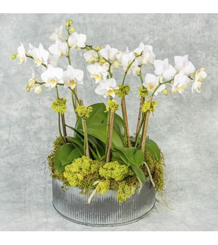 Mini Orchid Combo