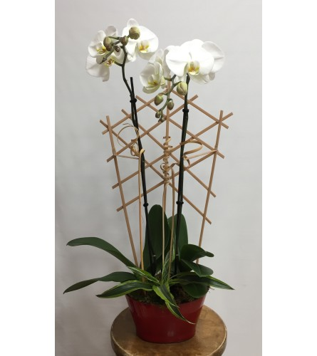 White Rana orchid