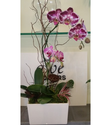 Purple Waterfall Orchid