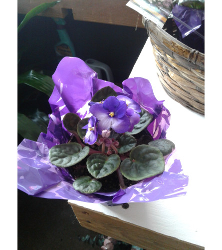 "4"" Purple African Violet"