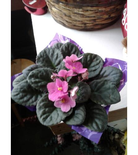 """4"""" Pink African Violet Plant."""