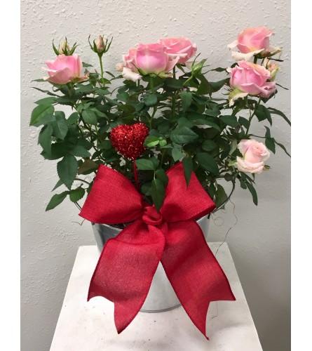 Romantic Miniature Rose Plant