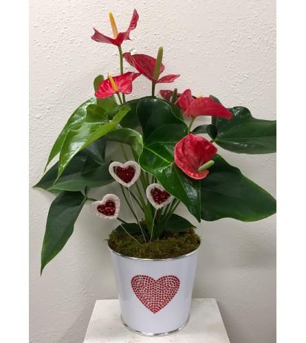 Sweet Anthurium Plant
