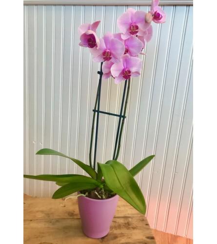 Beautiful Phalaenopsis Orchid - White