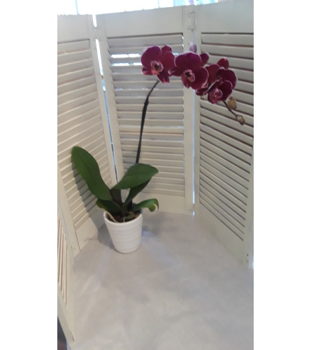 Purple Orchid Plant BF