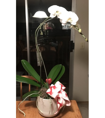 Single Phalaenopsis Plant White