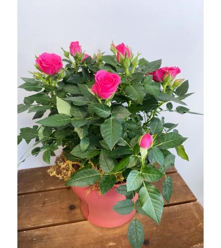 Romantic Rose Bush in Ceramic