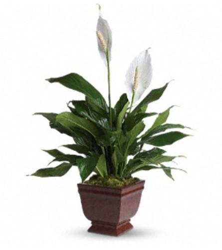 Teleflora's Lovely Spathiphyllum Plant
