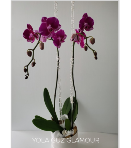 Purple Orchid Glamour