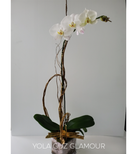 White Orchid Plant Glamour