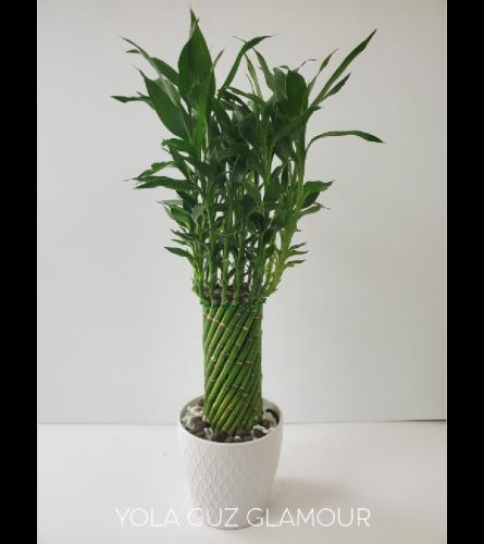 Tall Spiral Lucky Bamboo