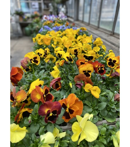 Flat of assorted Pansies