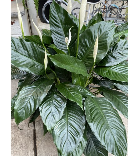 Large Peace Lily - floor plant