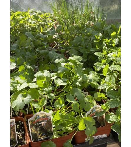 5 pots of Herbs - 4in Pots Herb