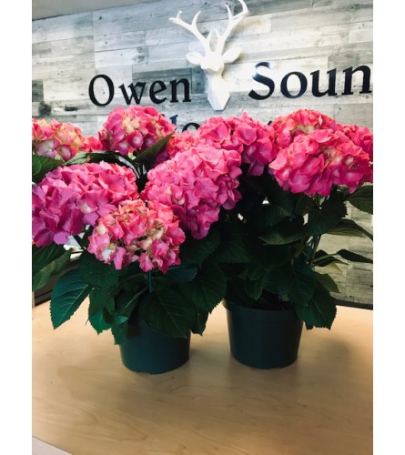 "10"" Pink Hydrangea Plant"