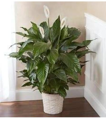 Peace Lily Plant For Loved One