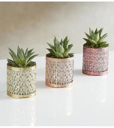 Succulents Luxurious Trio