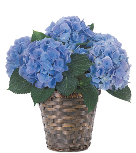 Potted Blue Hydrangea Plant