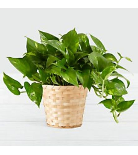 verigated pothos plant