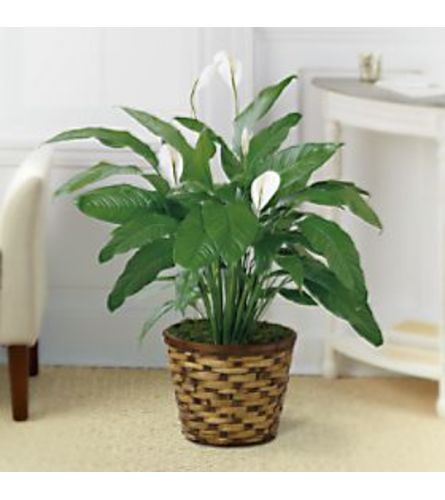 peace lily floor plant with wicker basket