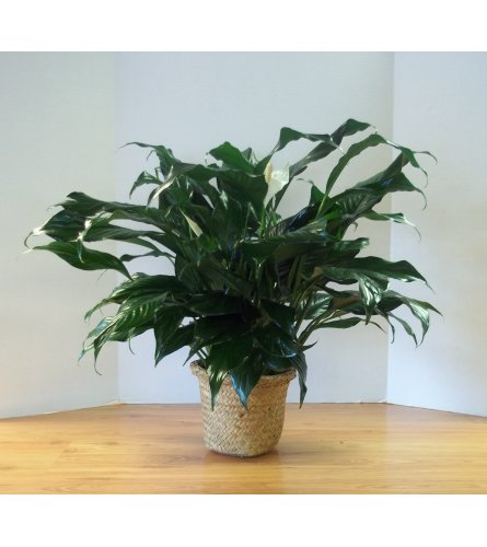 Peace Lily Spathiphyllum Plant in Basket