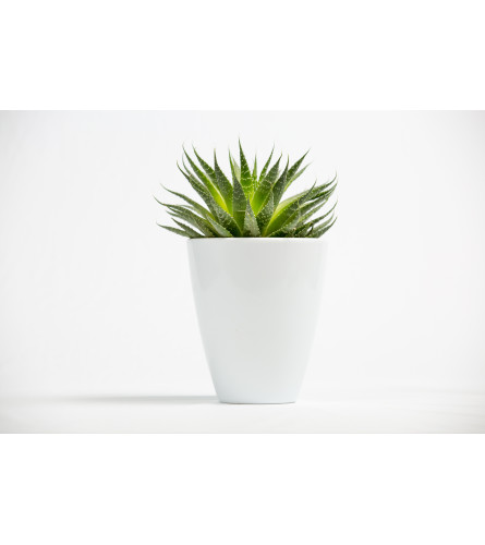 Aloe Vera planter