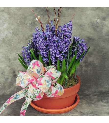 Easter Hyacinth Potted