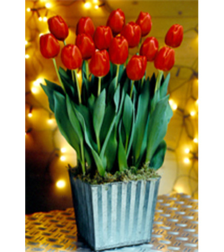 EASTER TULIPS IN POTS