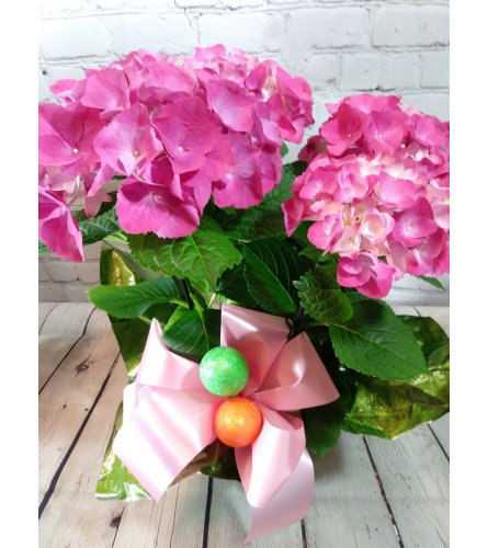 Pink Easter Hydrangea Plant