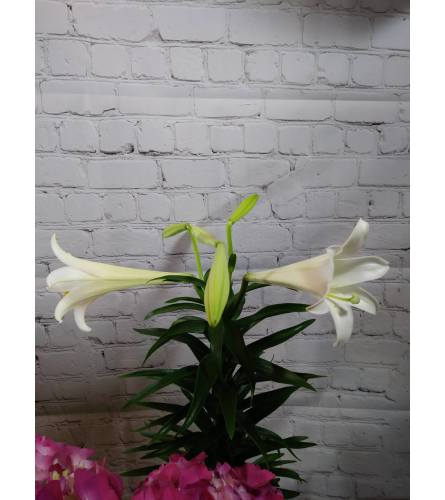 A Lily for Easter