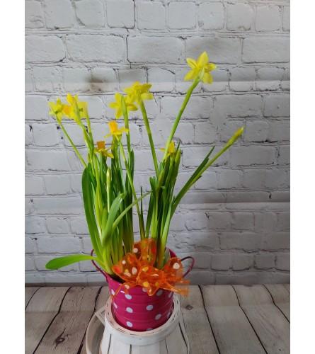Miniature Daffodil Plant