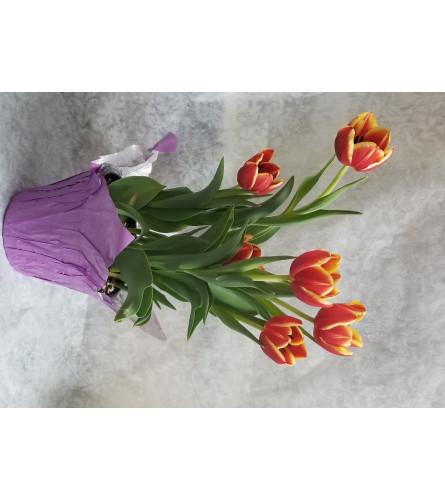 """6"""" Tulip Plant"""