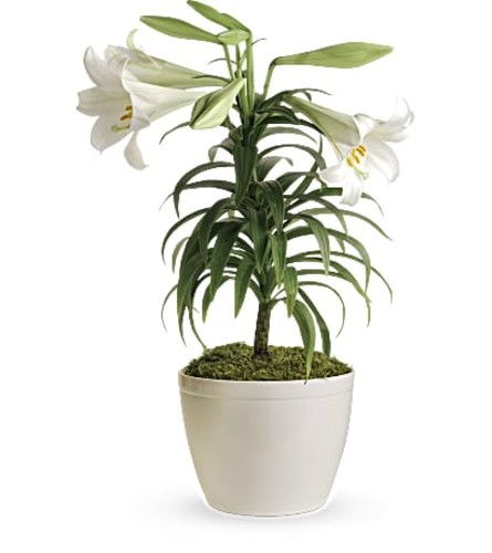 """Easter Lily Plant 10"""""""