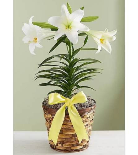 Peaceful Easter Lily