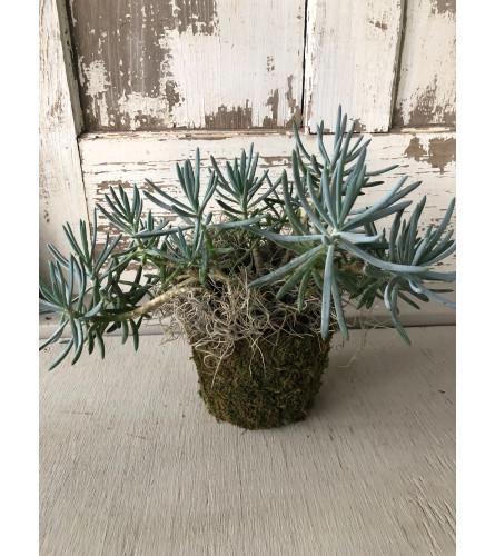 Succulent featured in a Moss Pot