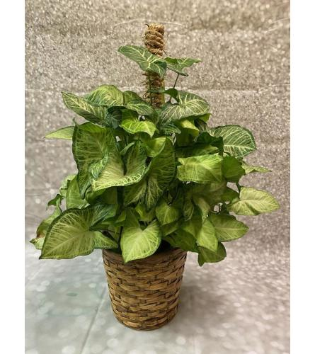 Butterfly Pole Plant