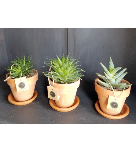 Aloe Trio