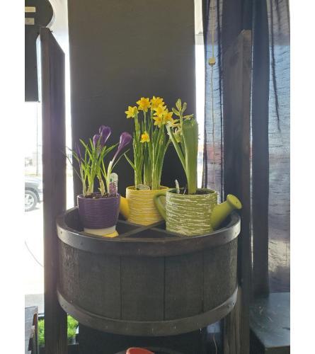 Spring Bulb Pots