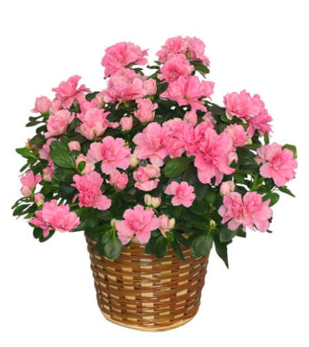 Single Blooming Azalea Basket