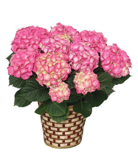 Blooming Hydrangea Basket