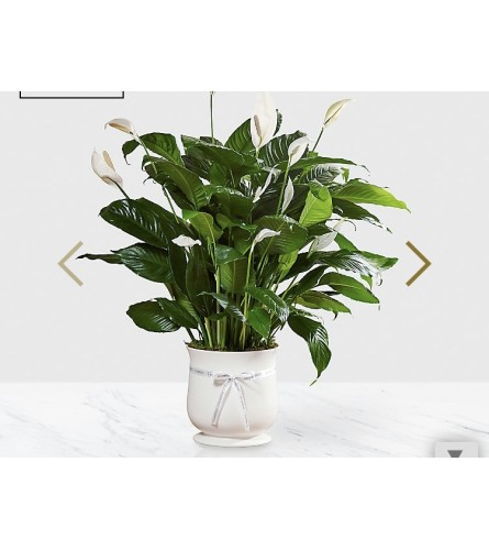 The Comfort Planter Peace Lily
