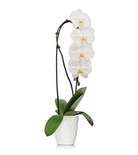 White Waterfall Orchid Plant