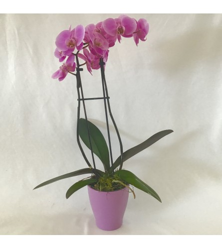 Phalaenopsis Orchid for Mom