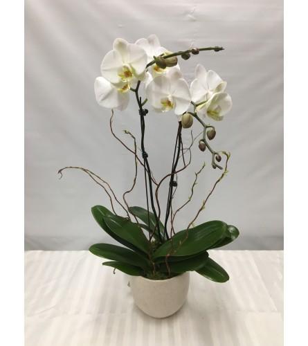 Double Stemmed Phaleanopsis