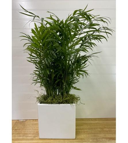 "Feathery Palm-6 "" Pot"