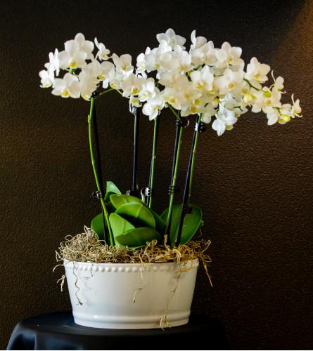 Multi orchid
